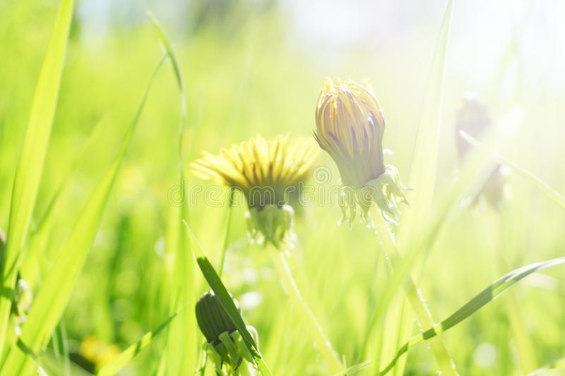 Dandelion grass natural herb background texture. Lawn garden with beauty bokeh.  stock images