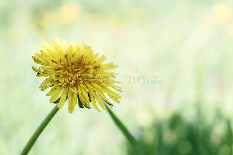 Dandelion grass natural herb background texture. Lawn garden with beauty bokeh.  stock photo