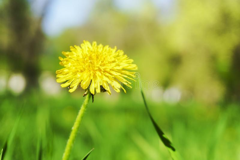 Dandelion grass natural herb background texture. Lawn garden with beauty bokeh.  stock photography