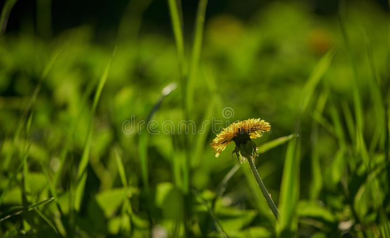 Dandelion in the grass stock photography