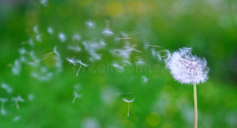 Dandelion with a green background stock photography