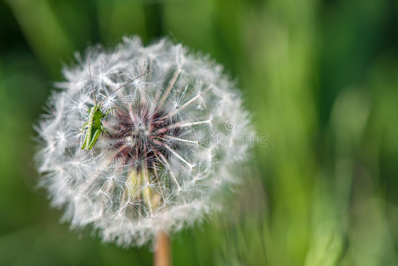 Dandelion on green background - selective focus royalty free stock photo