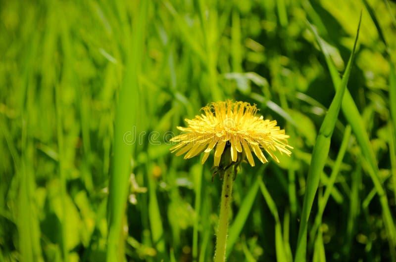 Dandelion in greenery royalty free stock image