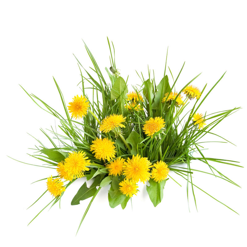 Dandelion and green grass stock photo
