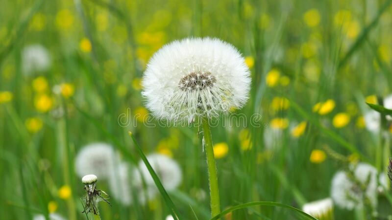 Dandelion on Green Grass Field in Shallow Focus Lens stock images