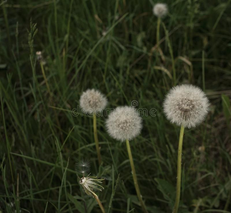 dandelion green herbs nature close-up royalty free stock photos