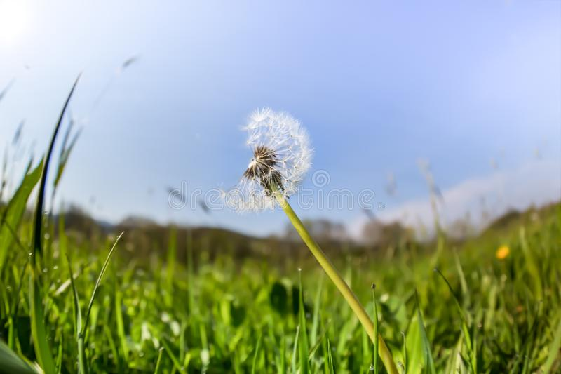 A dandelion on a green meadow, deep perspective stock photo