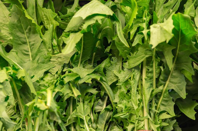 Dandelion greens as seen on the shelve in a store stock photography