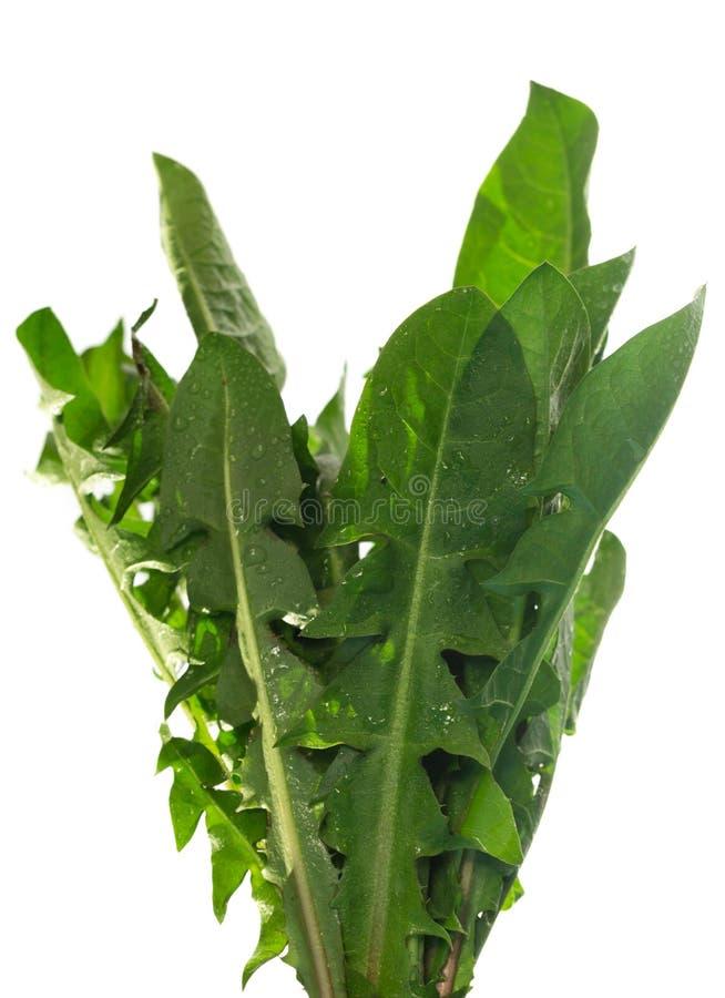 Dandelion greens royalty free stock photography