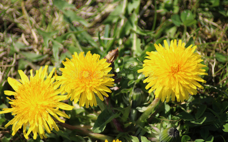Dandelion group. Three Dandelion Taraxacum officinale in springtime growing between grass in a meadow stock photo