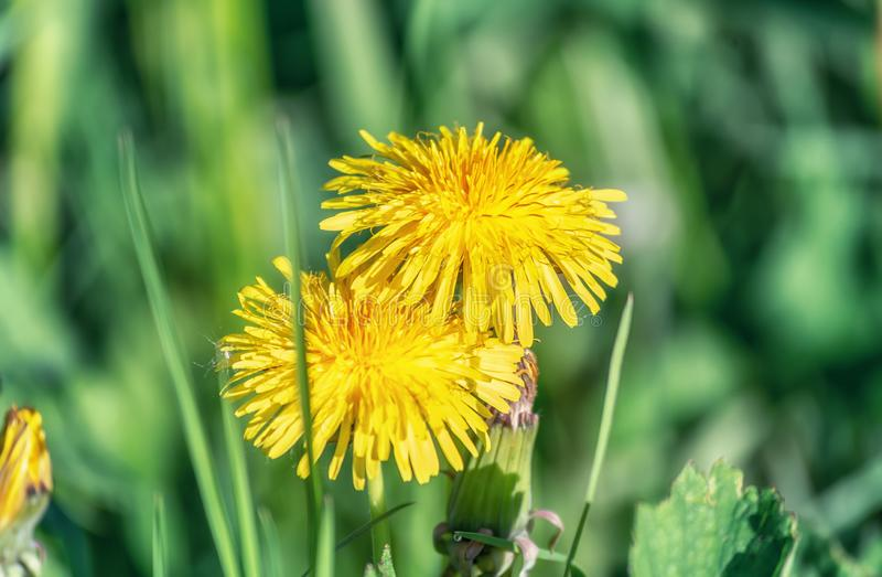 Dandelion growing in the grass. Somewhere in The Netherlands royalty free stock image