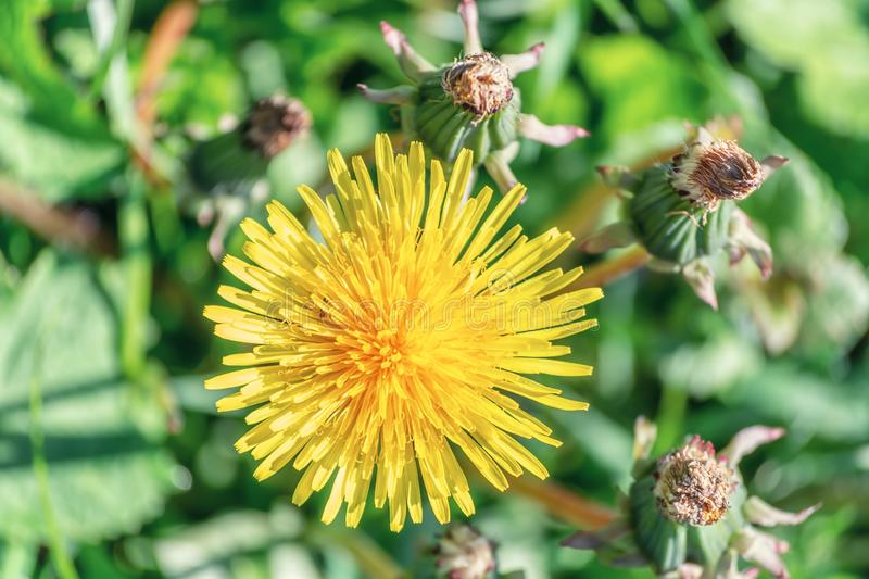 Dandelion growing in the grass. Somewhere in The Netherlands stock photography
