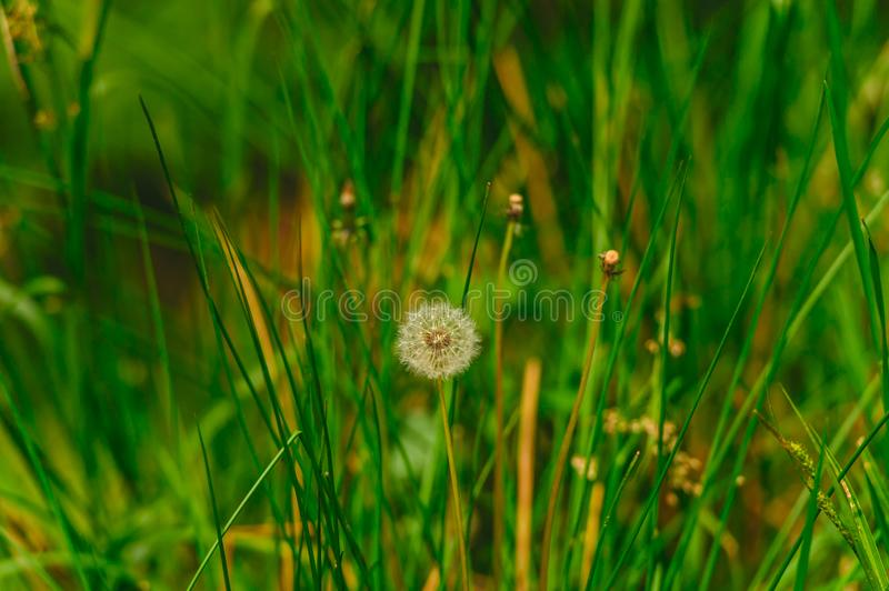 Dandelion growing on a meadow. Last dandelion growing on a spring meadow amidst green grasses stock images