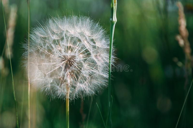 A dandelion grows in a meadow. Close-up stock images