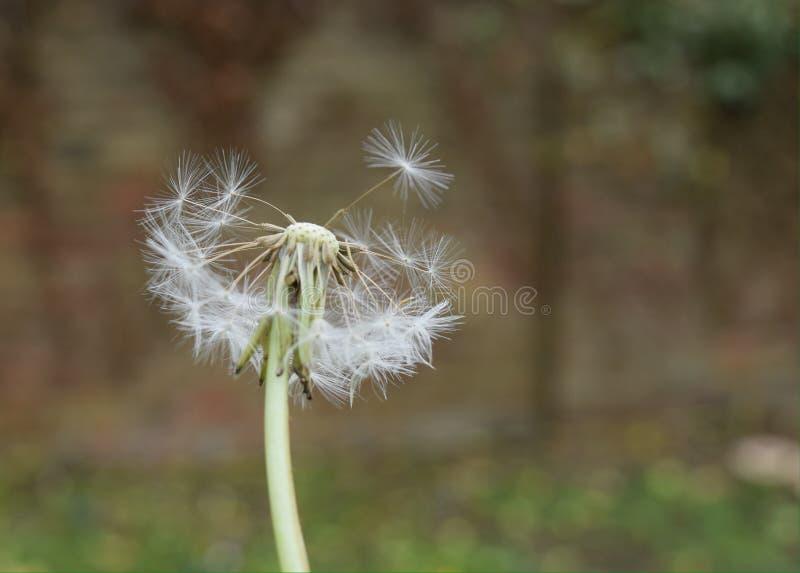 Dandelion half stock photography