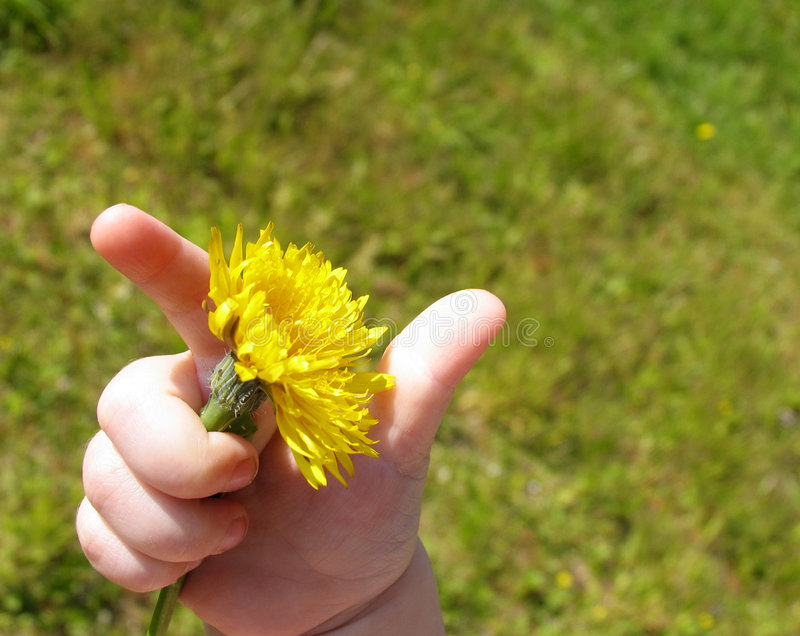 Dandelion hand royalty free stock images