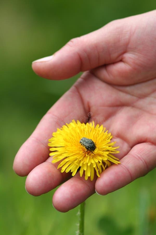 Dandelion In Hand Stock Photography