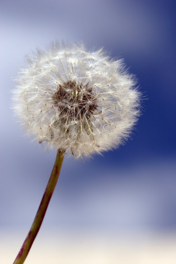 Dandelion head royalty free stock images