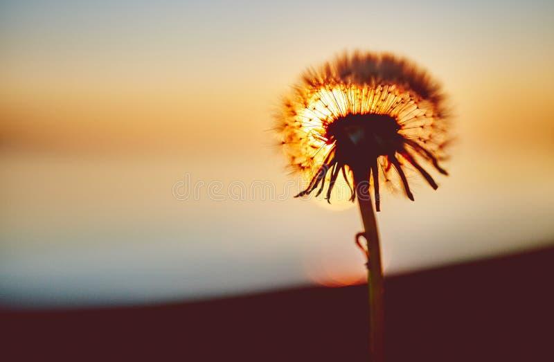 Dandelion head against setting sun. stock images