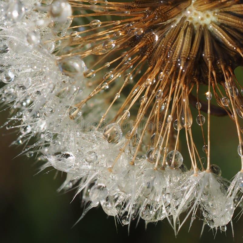 Dandelion head with dew stock photo