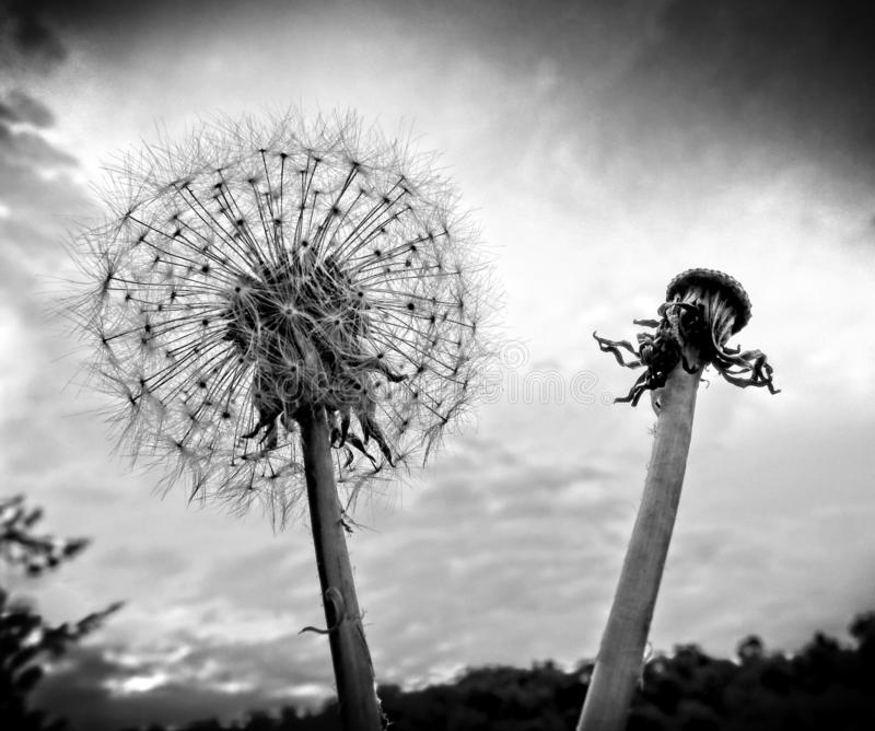Dandelion head and seeds. Close up black and white dandelion head and seeds against stormy overcast sky stock photography