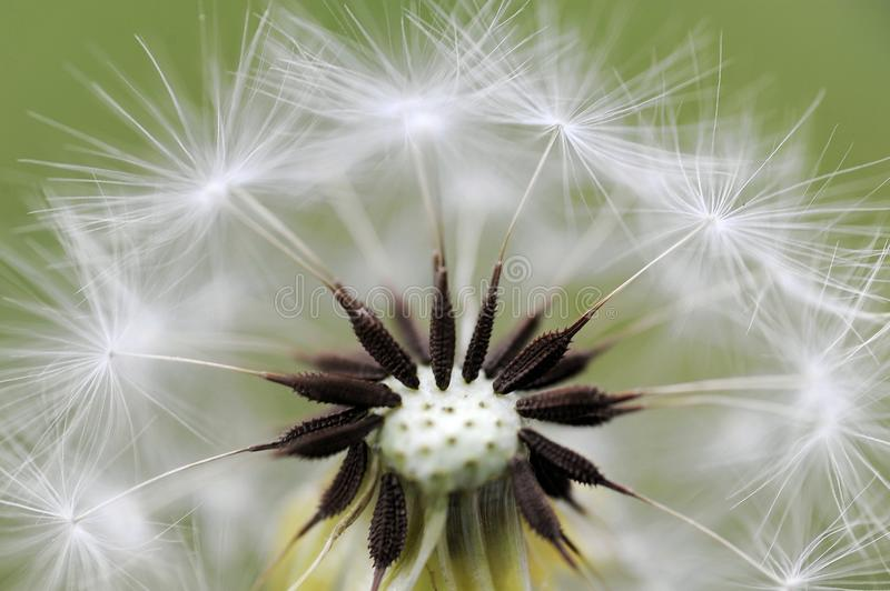 Dandelion head and seeds. macro. Close-up of a dandelion head and seeds, macro stock photography