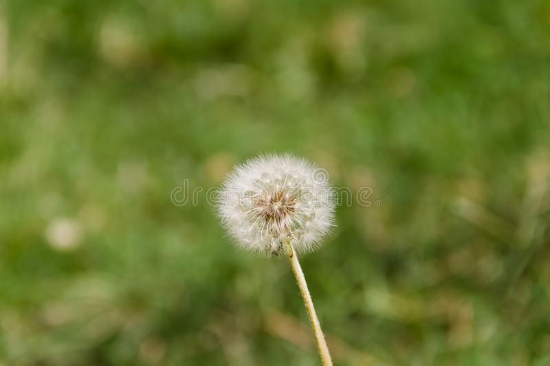 Dandelion herbs with defocused background in spring yellow green and white colors stock photo