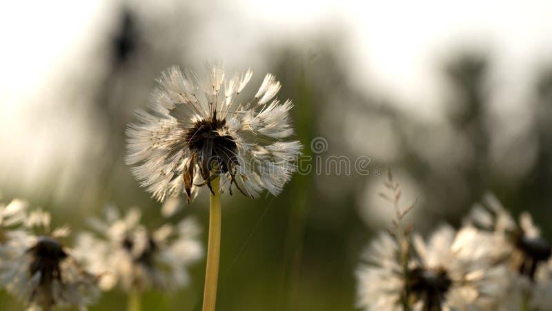 Dandelion in het dauw stock fotografie