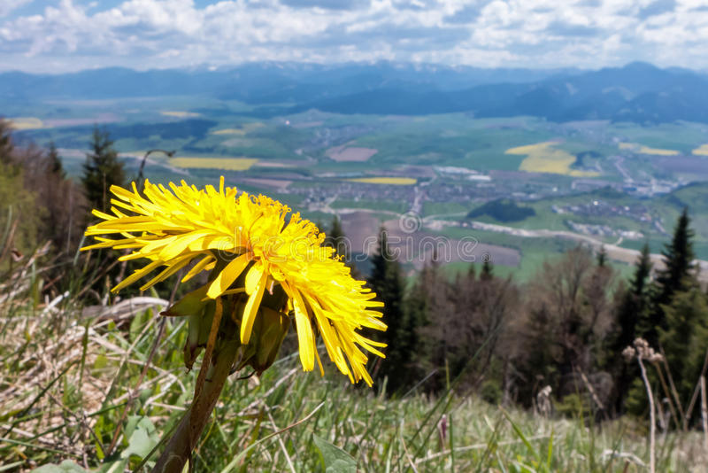 Dandelion on hill stock images