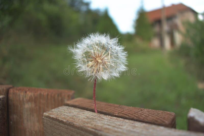 Dandelion i dom w tle fotografia stock