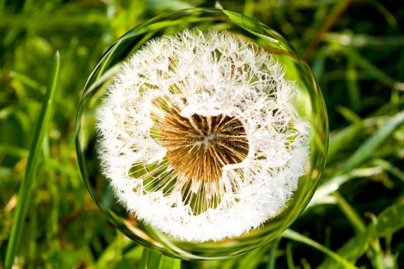 Dandelion i glassfär fotografering för bildbyråer