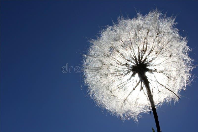 Dandelion i niebieskie niebo zdjęcia stock