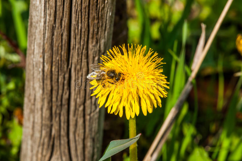 Dandelion i pszczoła fotografia stock