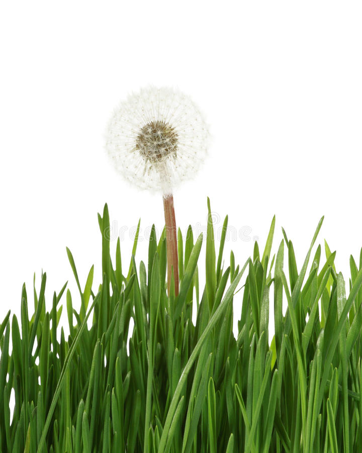 Free Dandelion In Grass Stock Photography - 43960992