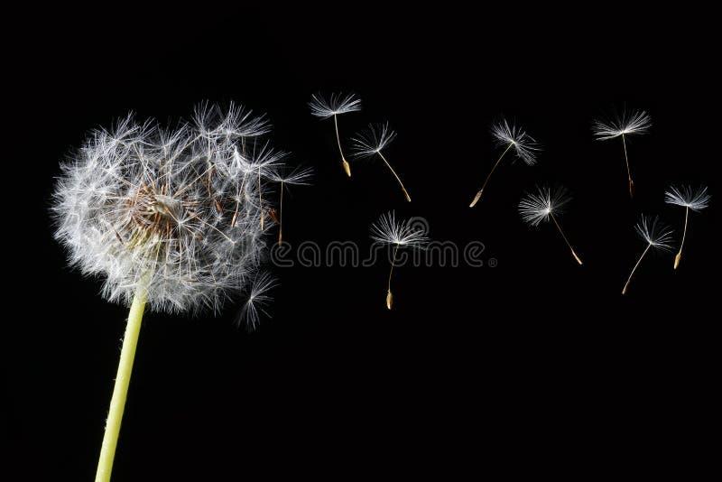 Download Dandelion isolated stock image. Image of illustration - 5159361