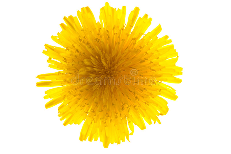 Download Dandelion isolated stock image. Image of backdrop, plant - 9260675