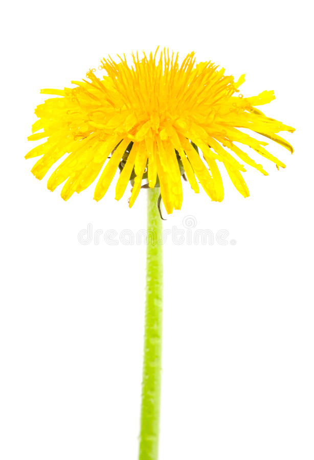 Free Dandelion Isolated Royalty Free Stock Images - 9854299