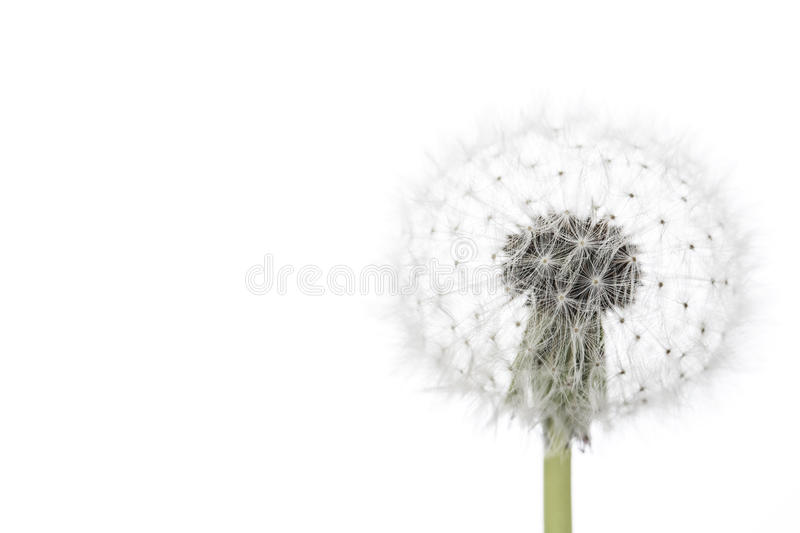 Dandelion isolated on white royalty free stock photo
