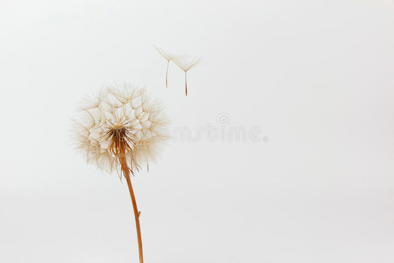 Dandelion and its flying seeds on a white background. The dandelion and its flying seeds on a white background royalty free stock photos