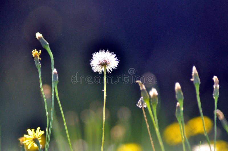 Dandelion jako lato Blaknie daleko od zdjęcia royalty free