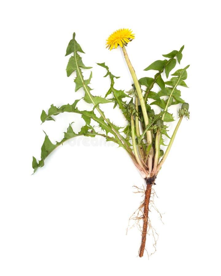 Dandelion korzeń odizolowywa zdjęcia royalty free