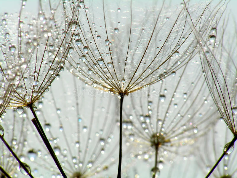 dandelion kropelki zdjęcia stock