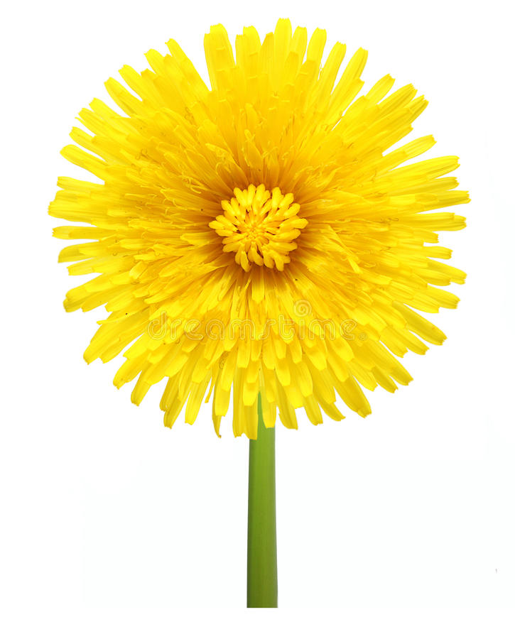 Download Dandelion kwiat obraz stock. Obraz złożonej z flory, migreny - 28966465
