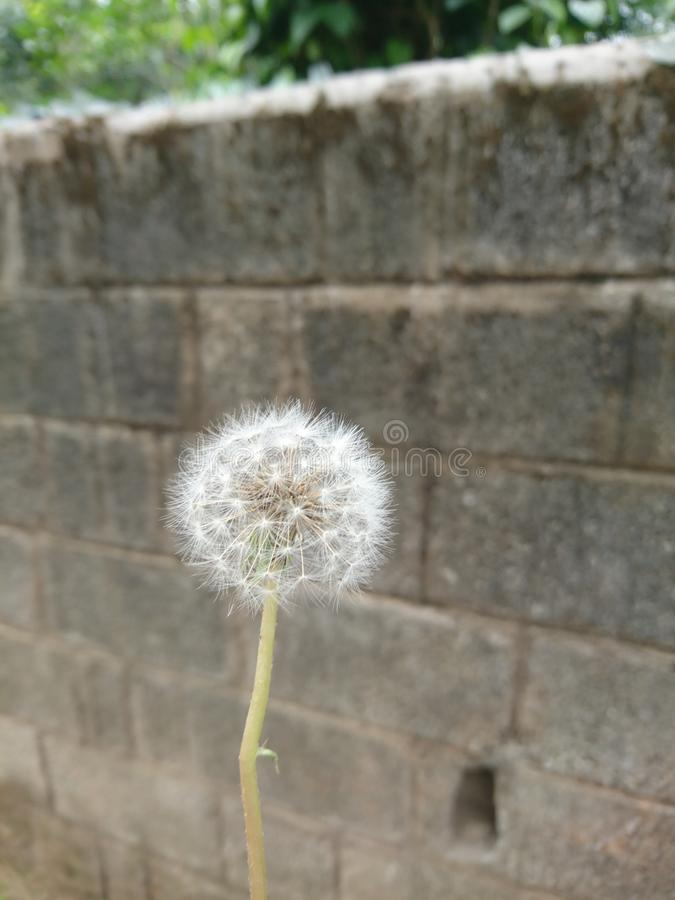 Dandelion kwiat obraz stock