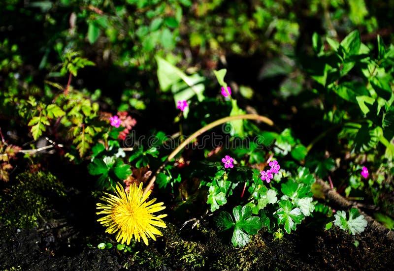 Dandelion kwiat i zapomina ja nie obrazy stock