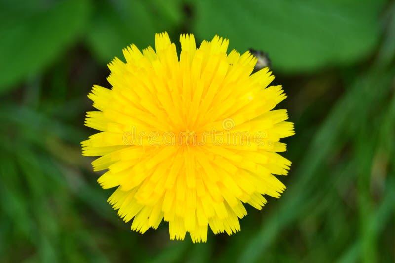 Dandelion kwiat jako słońce obraz royalty free