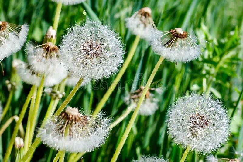 Dandelion kwiat na błękitnym koloru tle, wiele zbliżenie przedmiot zdjęcia stock