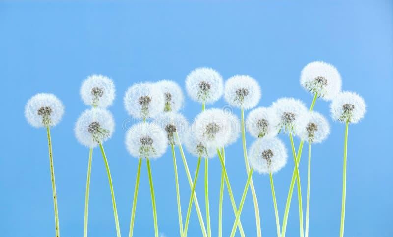 Dandelion kwiat na błękitnym koloru tle, wiele zbliżenie przedmiot obraz royalty free