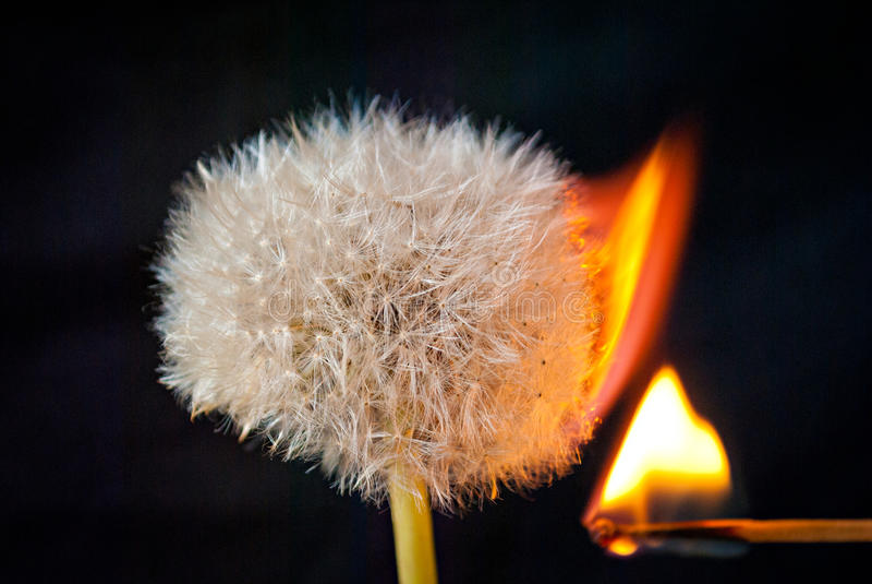 Dandelion kwiat na czarnym tle, oparzenie popióły zdjęcie royalty free