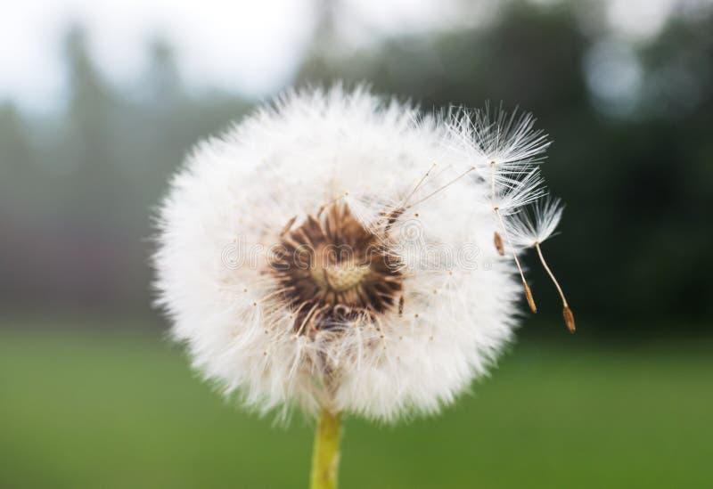 Dandelion kwiat na zielonym tle w polu Selekcyjna ostro?? zdjęcie royalty free